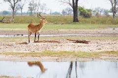Красное отражение Lechwe стоковое изображение rf