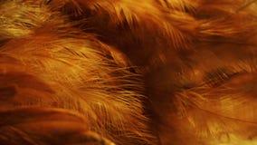 Красное перо цыпленка Стоковые Фото