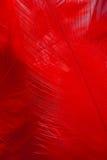 Красное перо Стоковые Фотографии RF