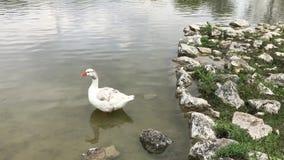 Красное плавание утки носа на озере акции видеоматериалы