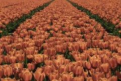 Красное поле тюльпанов в Нидерландах стоковые изображения