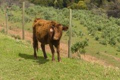 Красное положение коровы Dexter смотря на камеру в зеленом выгоне Корова имеет пушистое пальто зимы стоковое изображение