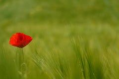 Красное поле зеленого цвета мака стоковые фотографии rf