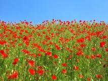 Красное поле мака с предпосылкой голубого неба стоковое изображение