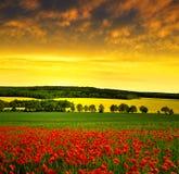 Красное поле мака Стоковые Фото
