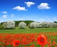 Красное поле мака Стоковое Изображение