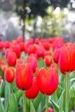 Красное поле тюльпана в солнечном дне Стоковая Фотография