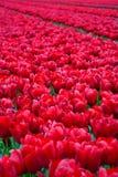 Красное поле тюльпана стоковые изображения rf