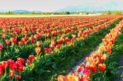 Красное поле тюльпана Стоковые Фотографии RF
