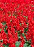 Красное поле цветка Стоковые Изображения