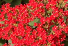 Красное поле цветка Стоковое Изображение