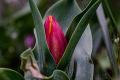Красное расставание бутона тюльпана Стоковые Изображения RF