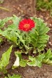 Красное растущее цветка gerbera в почве стоковые фотографии rf