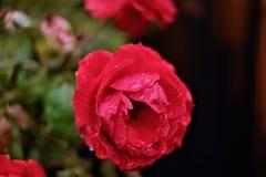 Красное Роза в дожде Стоковая Фотография