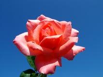 Красное Роза Стоковые Изображения