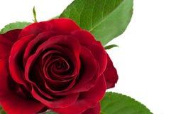 красное романтичное подняло Стоковые Изображения RF