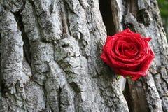 красное романтичное подняло Стоковое Изображение