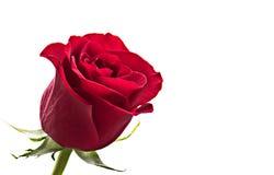 красное романтичное подняло Стоковое Фото