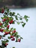 Красное собак-Роза на зеленой ветви Стоковая Фотография RF