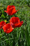 Красное тюльпаны/ÐšÑ€Ð°Ñ ‹½ Ñ ¿ аРьР'Ñ Ðµ ‹Ñ ½ Ð  юл Стоковое Фото