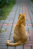 Красное усаживание кота изолированная белизна вид сзади Стоковое фото RF