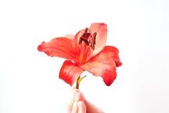 Красное фото лилии Стоковые Изображения RF