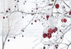Красное фруктовое дерев дерево против белой предпосылки Snowy стоковые изображения rf