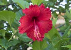 Красное цветене гибискуса Стоковые Фотографии RF