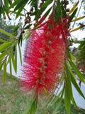 красное цветене цветка Стоковые Фотографии RF