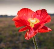 Красное цветене Стоковое Фото