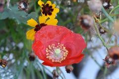 Красное цветене Стоковое Изображение