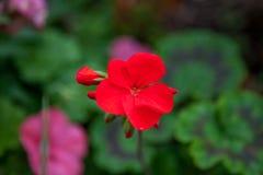 Красное цветене Стоковые Фото