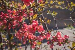 Красное цветение айвы Стоковые Фото