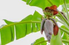 Красное цветение банана Стоковая Фотография RF