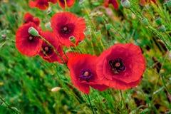 Красное цветение маков на одичалом поле Красивые маки красного цвета поля Стоковое Изображение
