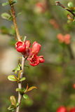 Красное цветение на ветви и зеленой предпосылке Стоковые Изображения RF