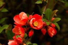 Красное цветение на дереве Стоковое Изображение RF