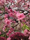 Красное цветение сливы в саде стоковое изображение