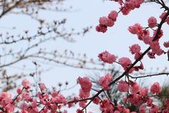 Красное цветение сливы Стоковое Изображение