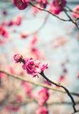 Красное цветение сливы Стоковая Фотография