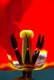 Красное цветение цветка тюльпана, портрет Стоковые Изображения