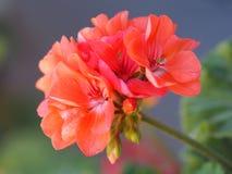 Красное цветение цветка Стоковые Фото