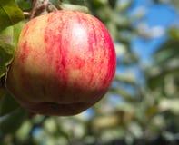 Красное яблоко в яблоне стоковое фото