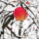 Красное яблоко на ветви в снежке Стоковое Изображение RF