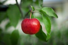 Красное яблоко на ветви конца-вверх Стоковая Фотография RF