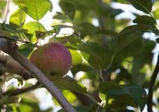 Красное яблоко на ветви стоковые изображения