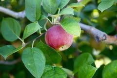 Красное яблоко на ветви стоковые фото