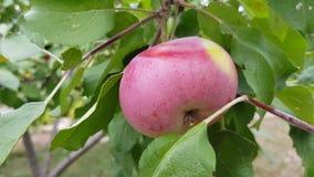 Красное яблоко на ветви видеоматериал