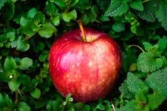 Красное яблоко на зеленой изолированной предпосылке стоковые изображения