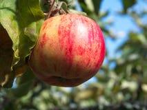 Красное яблоко на яблоне стоковые фотографии rf